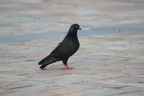 mansion pigeon bird