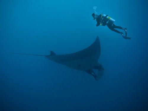manta rays diving