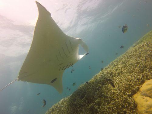 manta ray,nardymas,Scuba,Yap,Mikronezija,jūra,Manta,vandenynas,žuvis,ray,rifas,koralas,atogrąžų,pasinerti,Ramiojo vandenyno regionas,koralinis rifas,povandeninis,laukinė gamta,jūrų,gyvenimas,vandens