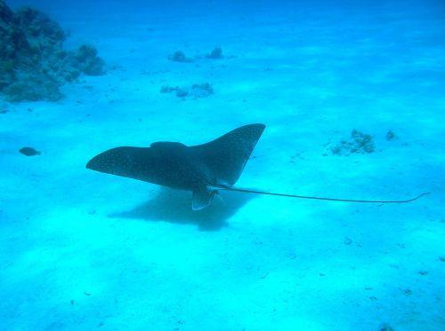 manta ray underwater manta