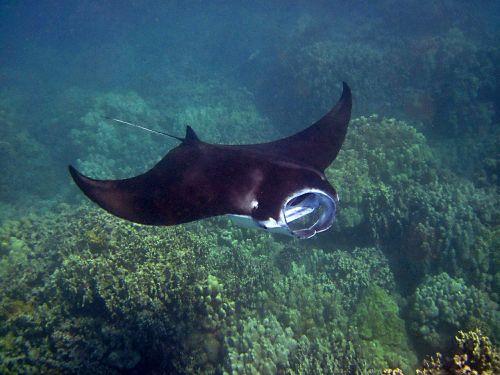 manta ray,Manta,Hawaii,ray,povandeninis,atogrąžų,laukiniai