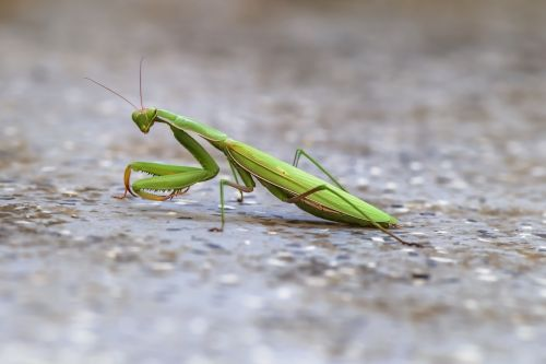 mantis mantoptère insect