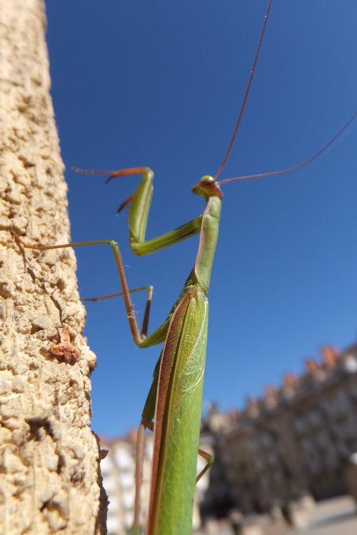mantis praying mantis insect