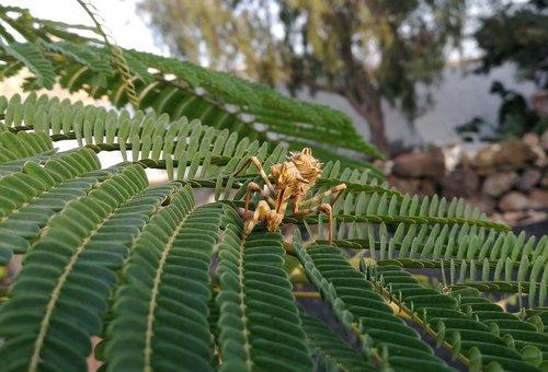 mantis  blepharopsis mendica  larval stage