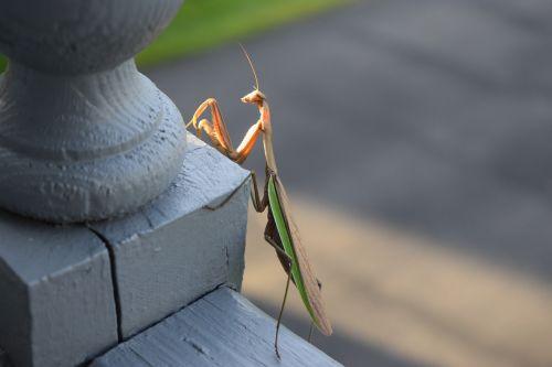 mantis praying bug