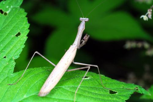 mantis insects nature