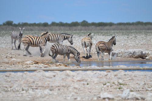 many zebras zebra in motion movement
