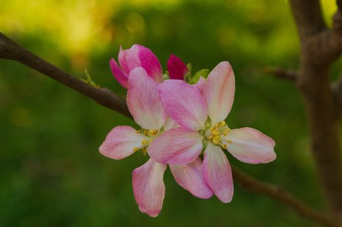 manzano  flowers  spring