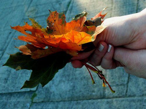 maple leaf leaves
