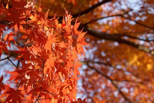 maple japanese maple momiji