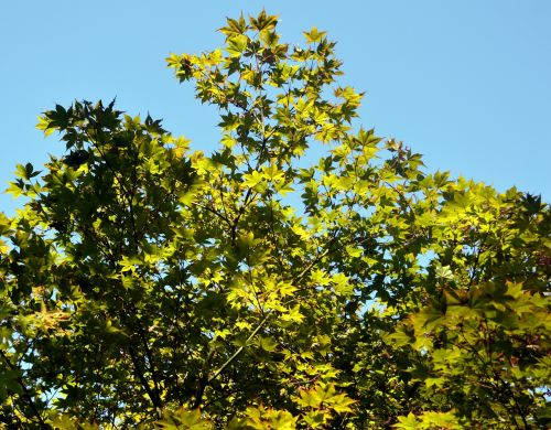 maple branches leaves