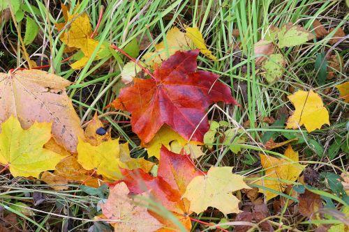 maple leaves autumn