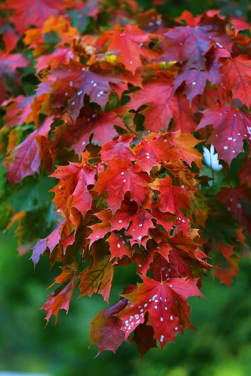 maple tree red