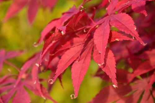maple red autumn