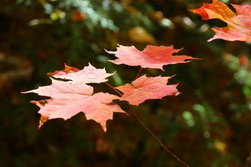 klevas,lapai,klevo lapas,miškas,medis,namelis,krištolo ežeras,kinmount,raudona,baldakimas,ruduo,kritimas,lauke