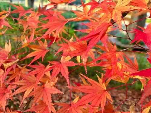 maple autumn red