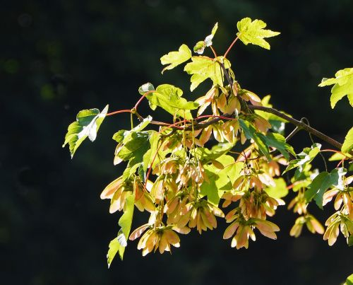 maple leaves seed capsules