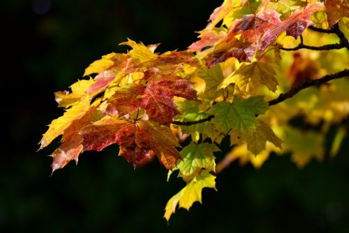 maple,leaves,autumn,maple leaves,colorful,fall foliage,fall color,nature,red,leaf,color,maple leaf,yellow,deciduous tree,autumn decoration,branch,october,romantic,transient