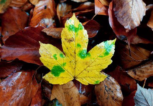 maple maple leaf maple leaves