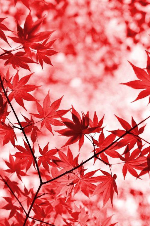 maple red leaves