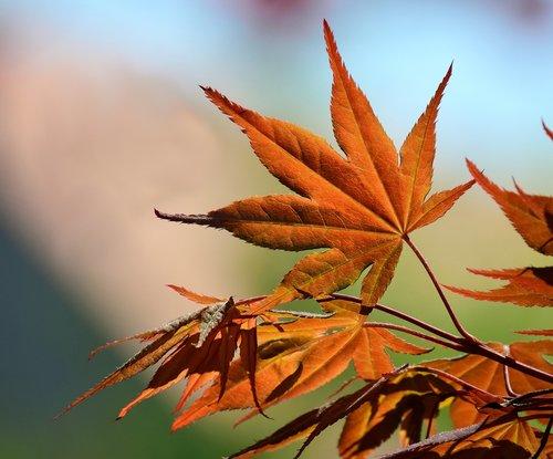maple  spring  tender