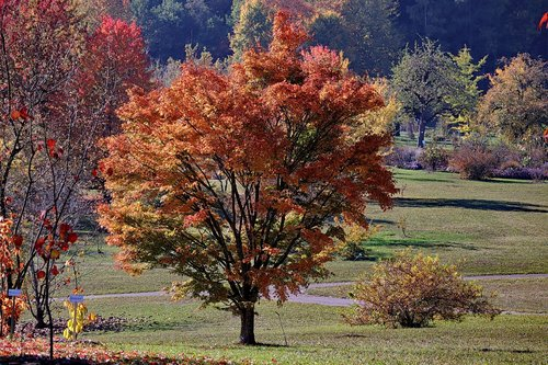 maple  autumn  emerge