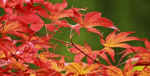 maple japanese maple leaves