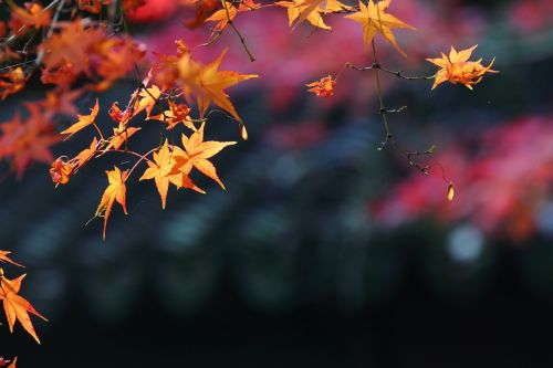 maple autumn views