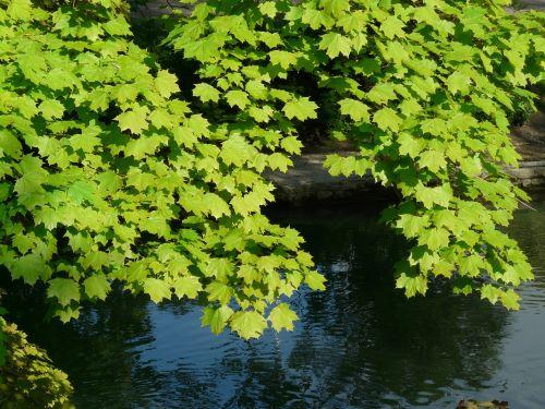 maple maple leaves leaf