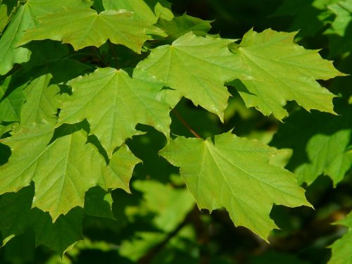 maple maple leaves leaf