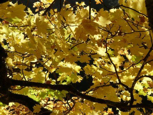 maple leaves maple leaves