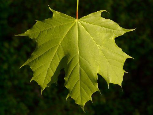 maple maple leaf leaf