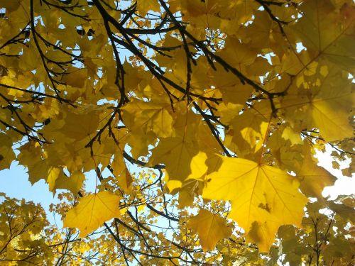 maple light autumn