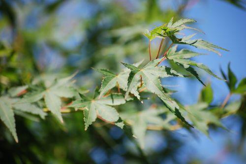 maple garden leaves