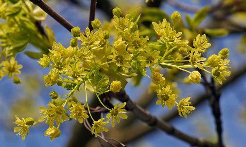 klevo gėlės,medis,filialas,žiedų šakos,Geltona žalia,pavasaris,Balandis,pirmieji diskai,klevas,sluoksnis,ūgliai