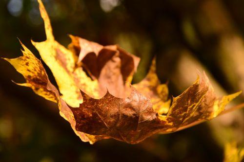 klevo lapas,ruduo,lapai,klevo lapai,spalvinga,lapai,kritimo lapija,kritimo spalva,geltona,gamta,rudens spalvos,dažymas,Uždaryti,gražus,sausas,geltonas lapas