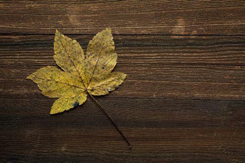 maple leaf leaf autumn leaf