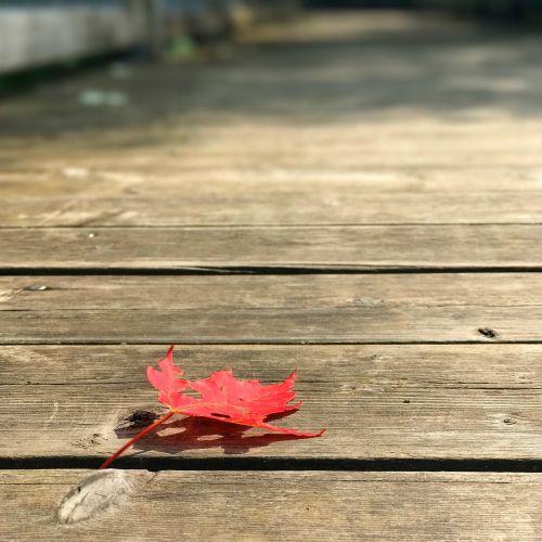 maple leaf maple leaf