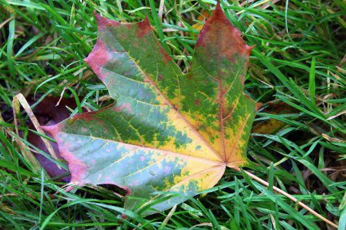 klevo lapas,rudens lapas,spalvos,gamta,spalva,ruduo