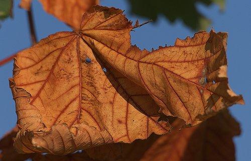 maple leaf  leaf  dry