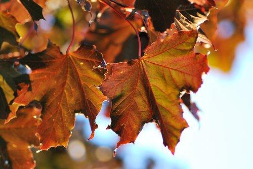 maple leaf  maple leaves  summer