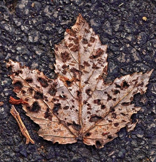 maple leaf  leaf  asphalt
