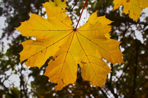 maple leaf  leaf  leaves