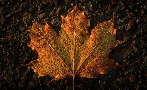 maple leaf  autumn  morgentau
