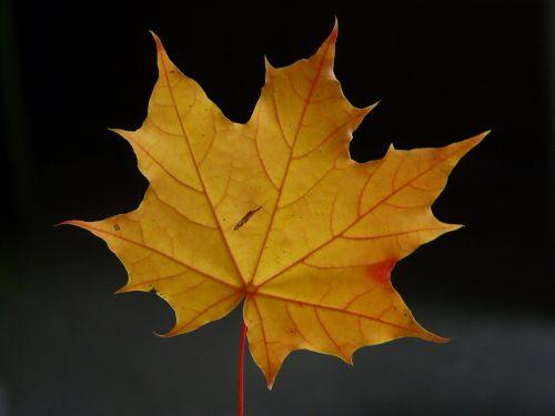 maple leaf leaf coloring