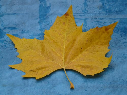 maple leaf yellow fall color