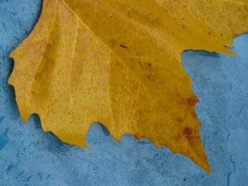 maple leaf edge jagged
