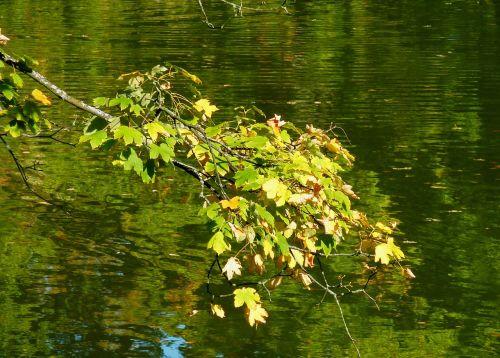 maple leaf beech leaves colored leaves