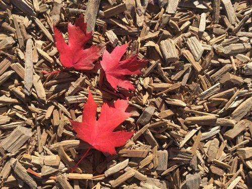 maple leaves maple leaf