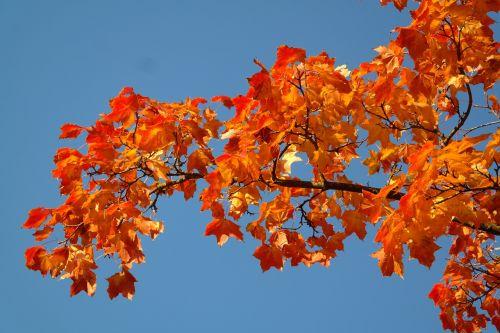 maple leaves leaves autumn
